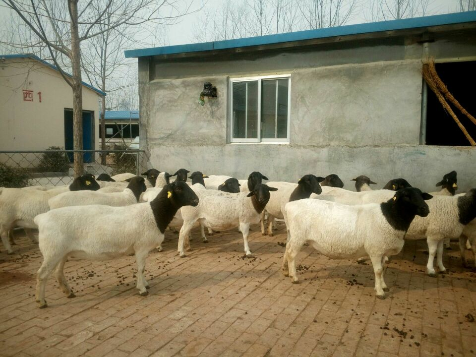2017年杜泊羊群--山东华农肉羊良种繁育有限公司